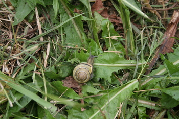 one of the many snails inhabiting the studio back yard -- this one got saved